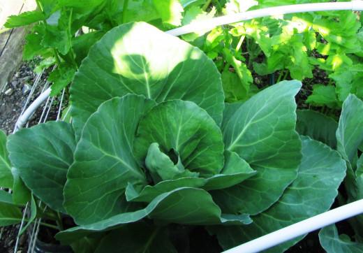 Cabbage in my Garden