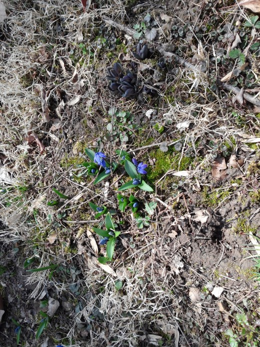 Here is a small patch just coming up this spring. Notice how there is a spread to where the original bulb must have been.