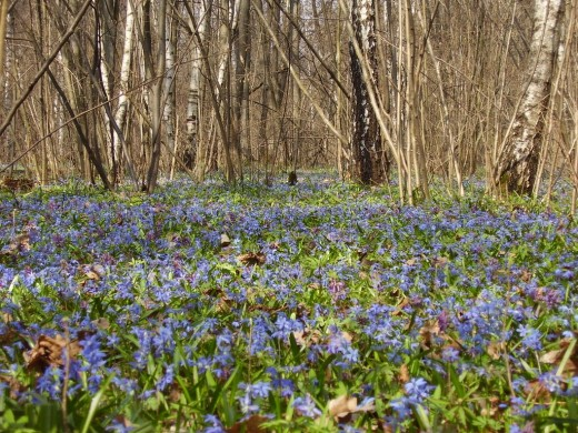 Photo taken in Tsentralnyy rayon, Voronez, Voronezhskaya oblast', Russia. Notice how the Scilla have naturalized to produce a short blue carpet of color to the wood's edge.
