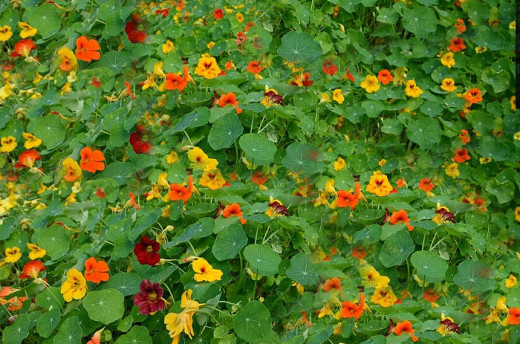 Indian cress: flowers, leaves and seeds are edible. Flowers make nice decorations.