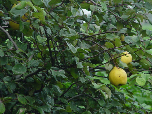 Quince: the pear you can not eat raw, but will make a delicious dishes.