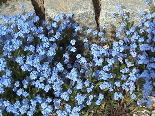 Planting Forget-Me-Nots is a healing and loving thing to do for a memorial garden.