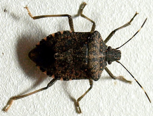 The brown, marmorated stink bug - This is your enemy!