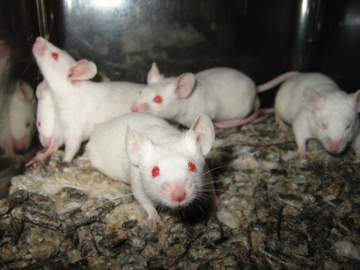 Mice are perfect laboratory animals that can be used for different experimental procedure, before testing on human beings.