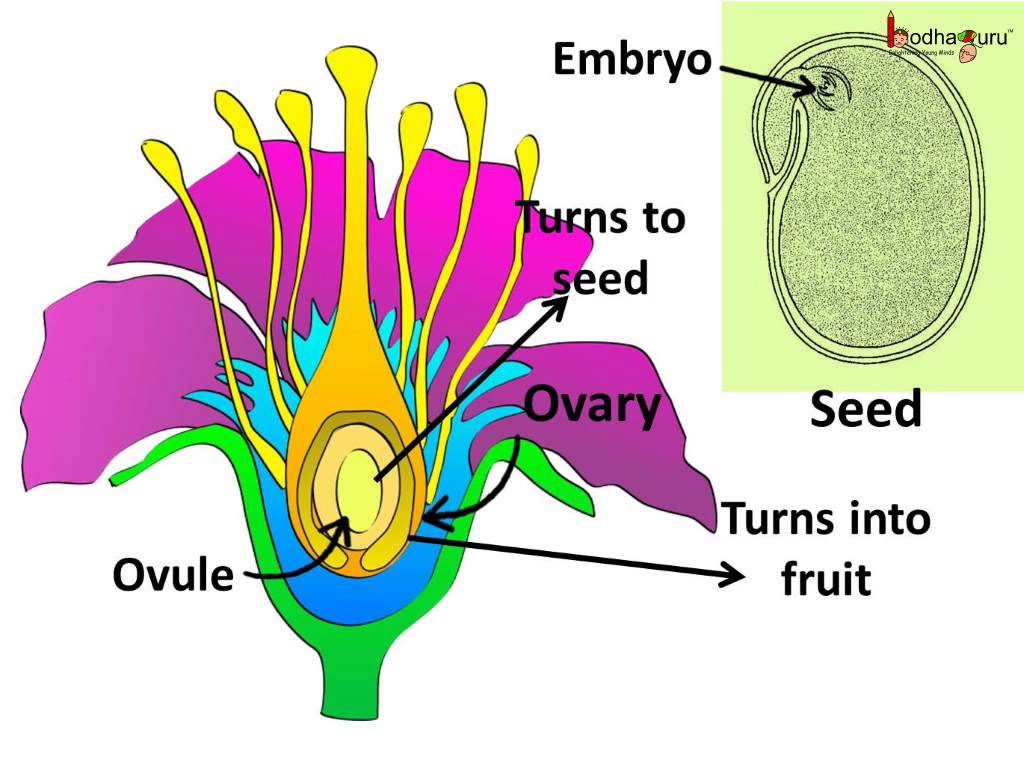 Sexual Reproduction in Plants | Plants Sexual Reproduction ...