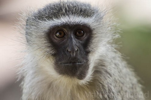 Cheeky vervet monkeys are never short of things to do in Kruger. One of their favourite activities is stealing sugar from people's rooms or food from an unwatched plate. Photo: Matt Feierabend
