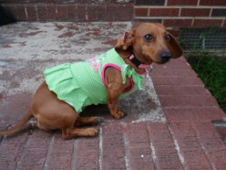 For The Love of Daschunds..A Real Wiener