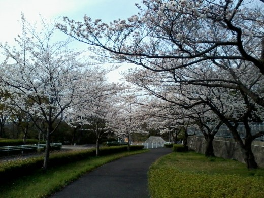 Sakura(Cherry) trees in Nagoya, Japan