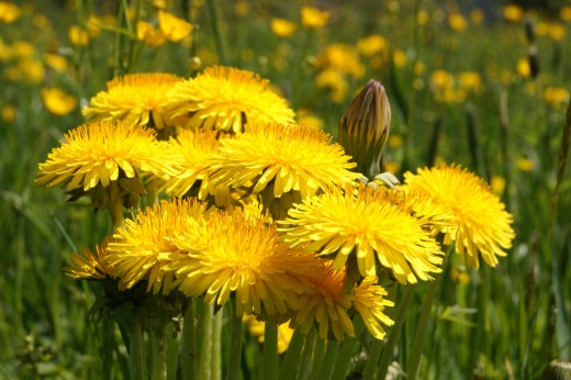 Dandelion cleanses by working as a diuretic.