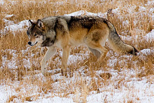 Wolves are common all over Northern Asia.