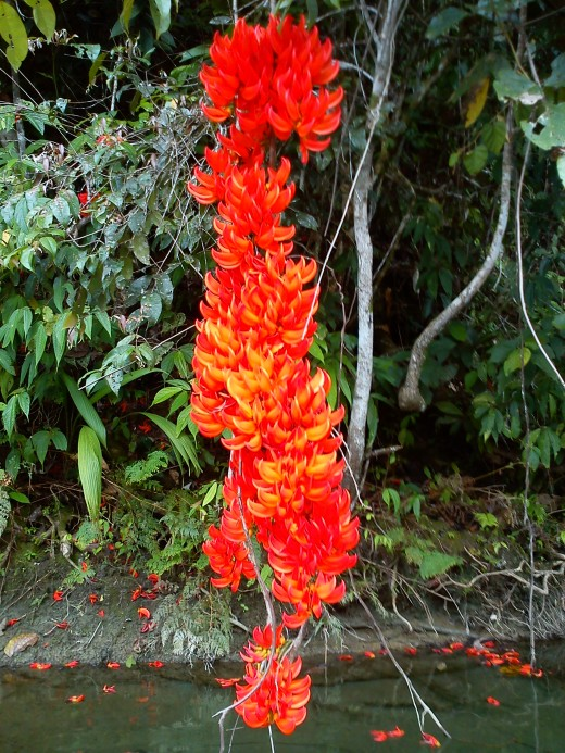The long pendulous raceme inflorescence flower of Red Jade Vine