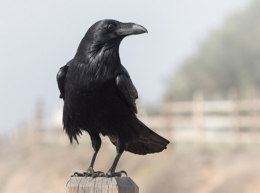 A visit from a Raven Spirit Guide could have multiple meanings...