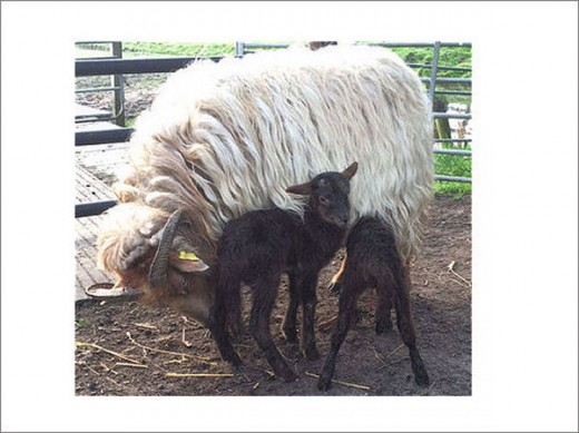 Mom Wibbina with her two lambs