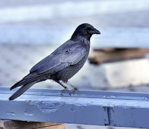 A carrion crow waits for its next meal...or perhaps to deliver you a message.
