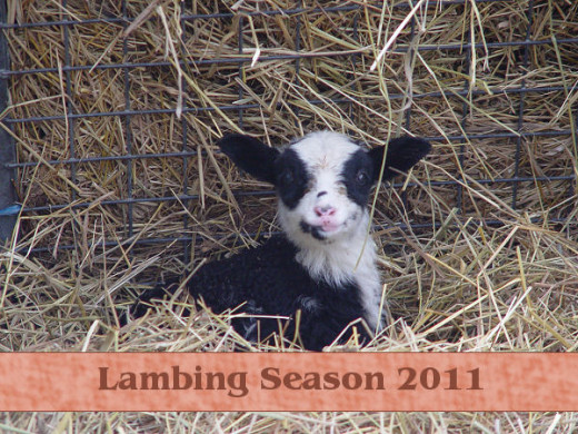 newborn lamb season 2011