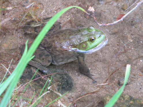 Frog in the shallow water of the lake.