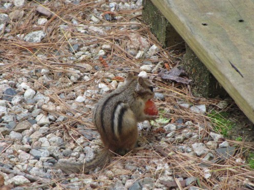 A chipmunk in my yard, eating my strawberry. Grrr...