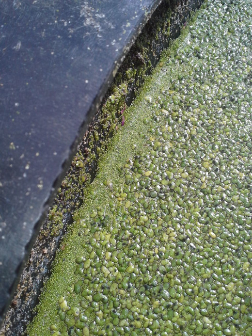 A profusion of Wolffia borialis amidst Lemna minor, with the exclusion of any Azolla filiculoides