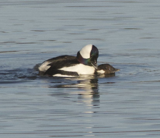 Buffleheads Mating