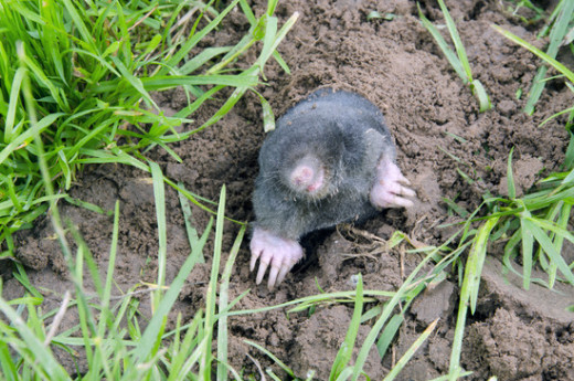 Five Methods To Get Moles Out Of Your Yard