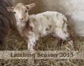 Lambing Season 2013