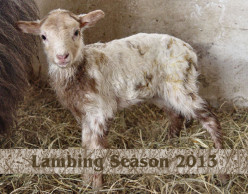 * Lambing Season 2013