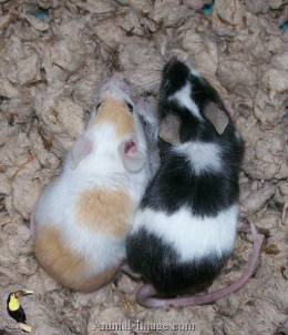 Healthy fancy mice.