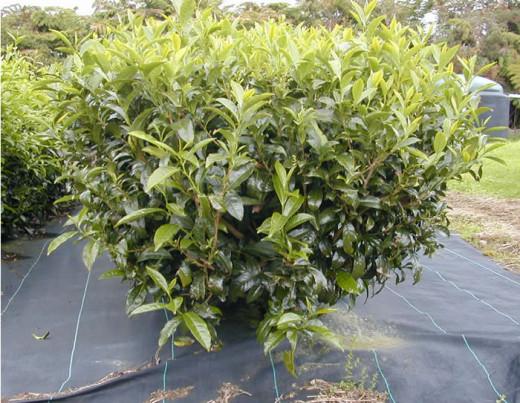 The tea (Camellia sinensis) plant