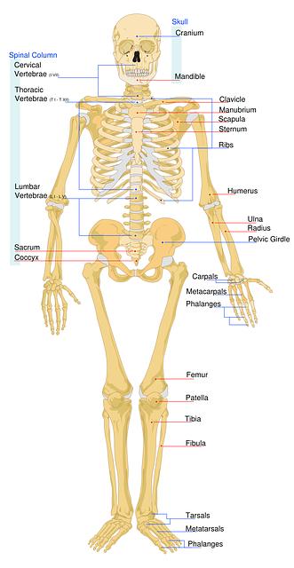 Anatomical skeleton