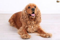 Cocker Spaniel: An owner's guide