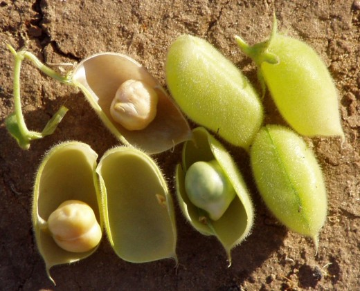 Ripe chickpea pods, showing chickpeas in various stages of ripeness.