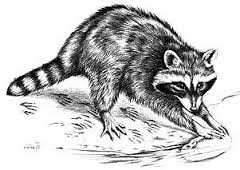 The raccoon is one of nature's cleanest animals.