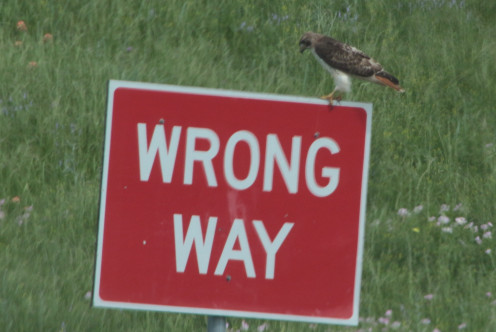 Red-tailed Hawk directing traffic around Bucc-ees.