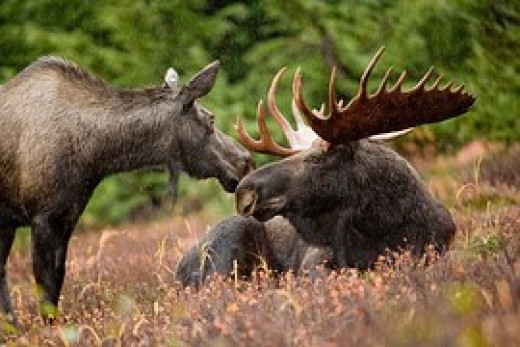 Moose cow nuzzling Moose bull