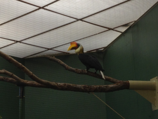 "Remember Zazu from the movie ""The Lion King""? This is a hornbill like Zazu!"