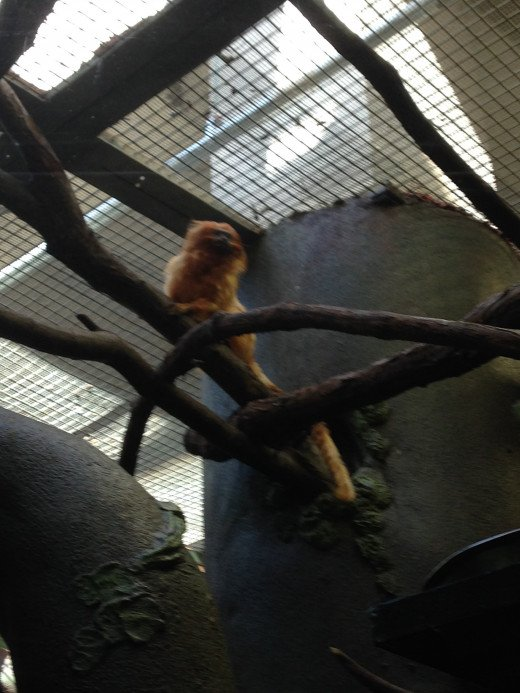 Golden-Lion Tamarin