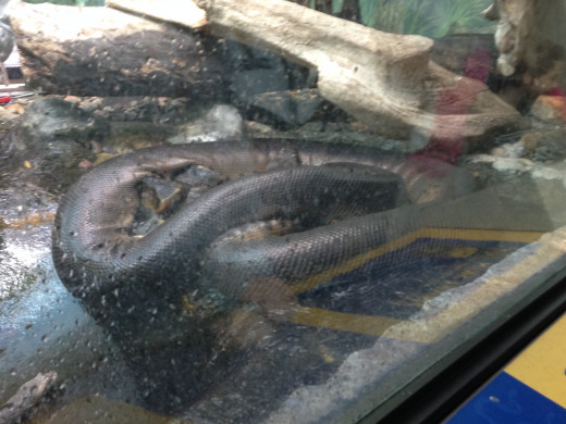 And this... AuW is the Anaconda that you had asked me about last week! This is actually the adult version, which is over 20 feet long.