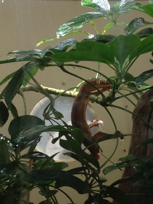 Gecko hanging out for a tree bath...