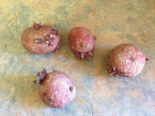 Red potatoes that sprouted in my pantry. I know what people say about potatoes, but I'm just going to try this.