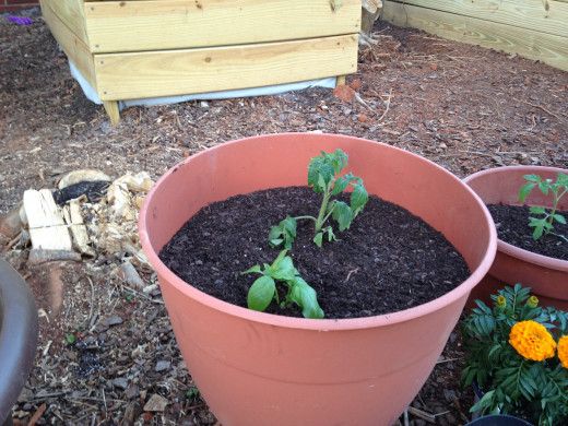 Porch Tomato and Basil