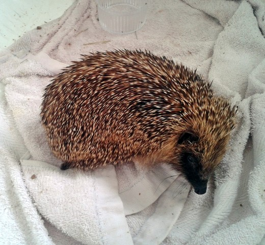 The baby hedgehog that I took to Easterleigh so they could nurse him back to health.