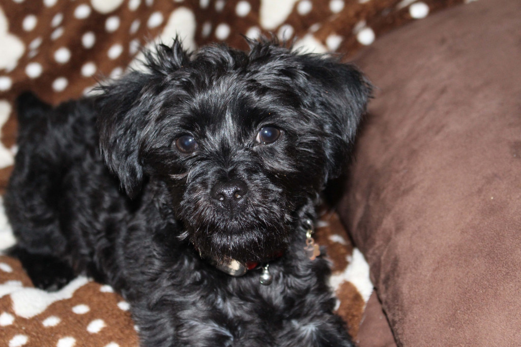 Yorkie Poo A Different Breed Of Dog Hubpages