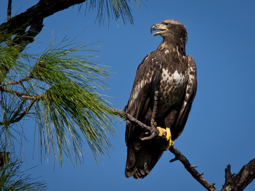 This is a confirmed, immature Bald eagle.