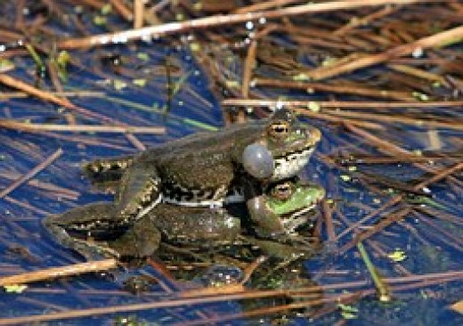 Do NOT bother these busy bullfrogs.