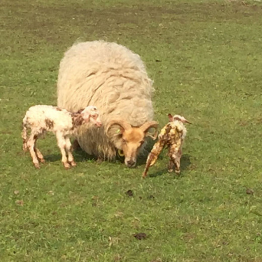 Lexi with her newborn twin lambs