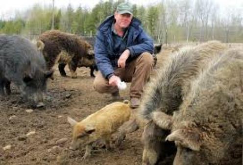 Pigs love tender loving care.