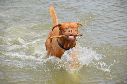 A Dougue de Bordeaux playing with a stick in water