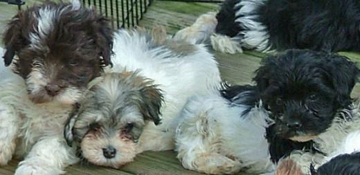 Some Havanese puppies.