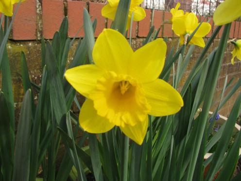 Golden Trumpet Daffodil