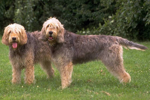 These two otterhounds seem to really be enjoying being photographed.